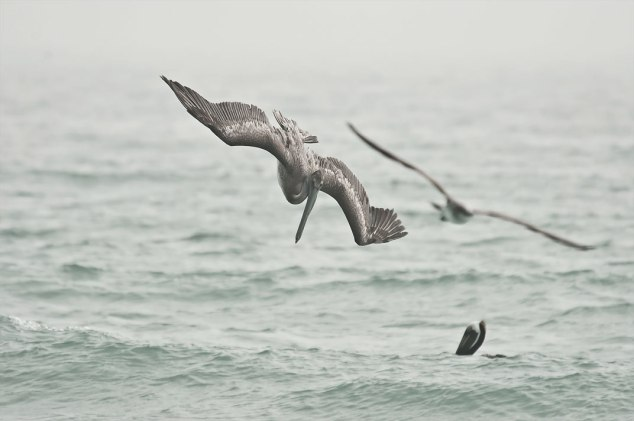 Pelican diving into the ocean with gull in the background
